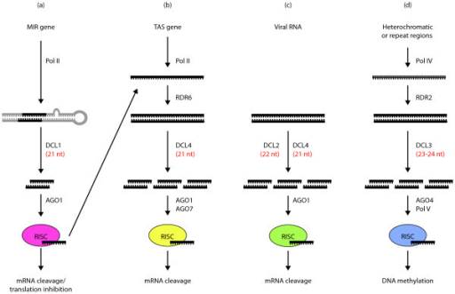 Schematic diagram of silencing pathways in plants. An overview of the (a) microRNA, (b) trans-acting siRNA, (c) viral siRNA and (d) heterochromatic siRNA pathways. sRNAs are processed from partially or perfectly double-stranded RNA (dsRNA) precursor molecules by Dicer-like (DCL) proteins. They are incorporated into Argonaute (AGO) complexes to target nucleic acids. RNA-dependent RNA polymerases (RDRs) convert transcripts generated by DNA-dependent RNA polymerase II (POL II) and IV (POL IV) into dsRNA. The associated RDR, DCL and AGO proteins that function in each pathway and the sizes and functions of the sRNAs produced are indicated. RISC refers to the RNA-induced silencing complex, a multiprotein complex that consists of an AGO protein, an sRNA and other protein factors. The different compositions of RISC complexes are indicated in different colors.