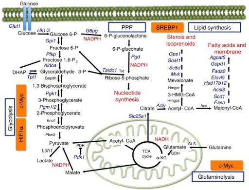 The mTORC1 pathway controls cellular metabolism. The mTORC1 signaling pathway controls metabolic pathways active in proliferating cells. This schematic shows our current understanding of how glycolysis, oxidative phosphorylation, the pentose phosphate pathway (PPP), and glutamine metabolism are interconnected in proliferating cells. The mTORC1 pathway participates in this metabolic rewiring by controlling the expression of genes (depicted in blue) encoding enzymes involved in glycolysis, the PPP, and lipid synthesis. This metabolic control requires the up-regulation of c-Myc and HIF1α (glycolysis), and SREBP1 (lipid biosynthesis and the PPP). mTORC1-dependent metabolic regulation allows for production of both NADPH and intermediates for macromolecular synthesis (depicted in red). c-Myc drives glutamine metabolism, which also supports NADH production.