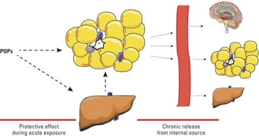 Dual role of AT in the regulation of POP kinetics. Upon exposure to POPs, these lipophilic pollutants are stored in liver and AT (left); this prevents the action of these pollutants in other sensitive tissues and may be protective to a certain extent. POPs released from their storage site in AT constitute a source of low-level internal exposure (right).