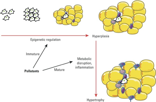 POPs as obesogens and as disruptors of AT structure and function. Strong evidence from both in vivo and in vitro studies suggests that POPs can influence the development of AT, particularly at low doses. These programming events take place in early life (e.g., fetal, neonatal), probably through epigenetic mechanisms, and could have an impact on diseases in adulthood. In addition, POPs can alter AT function and structure later in life; this occurs primarily through metabolic disruption and inflammation. These effects favor the development of metabolic diseases.