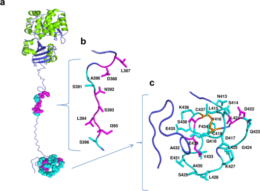 Three-dimensional model of full-length h-Prune.(a) The amino acids showing large variations upon complex formation with Nm23-H1 and the CPP peptide are mapped in cyan. The regions colored in magenta correspond to the amino acids recognized exclusively by Nm23-H1, as shown in detail in panels b and c.