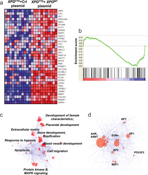 Transcriptome analysis of XPDTTD fibroblasts.Panel (a). Heatmap constructed using 136 genes downregulated in preeclampsia meta-analysis demonstrating the 34 genes significantly-downregulated in XPDTTD Fibroblasts versus XPDTTD Fibroblasts transfected with wild-type XPD. Panel (b). GSEA of XPDTTD Fibroblasts with respect to genes downregulated in preeclampsia. The analysis demonstrates significant correlation (q < 0.1, Enrichment Score = 0.15) between many genes downregulated in preeclampsia and in XPDTTD Fibroblasts. Panel (c). GO analysis of gene signature of XPDTTD Fibroblasts using network visualization and analysis tool (as described in the Methods). Size of the nodes is inversely proportional to the p-values. Groups identified using clustering algorithm; most common GO terms are listed next to the node groups. Panel (d). Transcription factor analysis of the genes downregulated in XPDTTD fibroblasts using network visualization and analysis tool. Groups identified using clustering algorithm; most common transcription factors are listed next to the nodes. Size of the nodes is inversely proportional to the p-values.