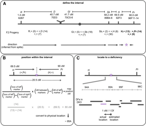 "Use of pairs of dominant markers to map a lethal mutation on the third chromosome. An example of the mapping process illustrating the effectiveness of using pairs of dominant markers. (A) The analysis described in Figure 1 is conducted with four pairs of dominant markers (R,D, Gl,Sb, Sb,H, and H,Pr) to map a lethal mutation on the third chromosome, psg24 (indicated with a purple asterisk). Scoring the viable F2 progeny indicates that only one pair has no unmarked progeny, thus the mutation is located inside the H,Pr pair. Consistent with this interpretation, the ratio of ""splits"" in the R,D, Gl,Sb and Sb,H crosses point to the H,Pr region. (B) The recombinant ""splits"" in H,Pr are used to calculate the approximate location of psg24. The formula provides the relative distance of the mutation from the left marker. This distance is indicated by the frequency of loss of the left marker among the viable F2 progeny ""splits."" In this case, the estimated genetic map position for psg24 is approximately 80 cM. This genetic location is then used to estimate a cytological location with positional information of known genes (see File S1), estimating the physical location of psg24 to around 95A. (C) We used complementation tests with deficiencies near 95A to identify the actual location of psg24. The mutation was crossed to 10 deficiencies from the DK3 collection spanning the region from 94A to 96C, and it failed to complement Df(3R)BSC619 in 94E, which is about 1 cM or approximately one deficiency away from the initial estimated physical map position. The arrow reflects the approximate reliability of the recombination analysis, where the base of the arrow (dot) represents the estimated genetic map position and the arrowhead represents the actual physical location."