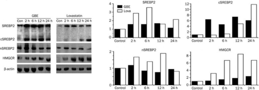 Western blot analysis of HMGCR and SREBP2 proteins. (A) Western blots images, (B) Signal quantitation of each band. β-actin was immuno-probed as a loading control. HMGCR was induced by both GBE50 and lovastatin, but the lovastatin had a stronger effect. The SREBP2 c-terminus was induced by GBE50 and lovastatin. The cleaved form of n-terminus nSREBP2 was upregulated by lovastatin, but not GBE50.