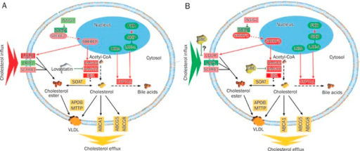 Ideogram illustration of the gene regulation networks underlying the cholesterol-lowering effect of GBE and lovastatin treatment in HepG2 cells. (A) GBE treatment. (B) Lovastatin treatment. The genes in green were down-regulated, while the genes in red were over-expressed, the yellow color represents genes that were not significantly changed, the red arrows indicated stimulation, the green line with block represents negative regulation. The following theme is proposed: lovastatin lowers cellular cholesterol content by inhibiting de novo biosynthesis by modulating the expression of the rate limiting enzyme, HMGCR, and inducing adaptive responses, such as the over expression of genes involved in cholesterol endogenous biosynthesis and cholesterol influx, and the down-regulation of genes related to cholesterol catabolism into bile acids, which are required for the maintenance of the homeostasis of cellular cholesterol. With respect to molecular mechanisms downstream of GBE treatment, in addition to inhibiting HMGCR, cholesterol influx was also inhibited and related gene expression changes were demonstrated.
