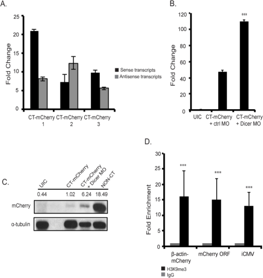 mCherry silencing is Dicer dependent and results in increased levels of H3K9me3 chromatin modification.(A) Detection of sense and antisense mCherry transcripts via qPCR analysis in F2 embryos from 3 different CT-mCherry F1 lines. (B) Increased mCherry sense mRNA levels upon co-injection of a Dicer MO compared to control (ctrl) MO injected transient transgenics at 54 hpf. (C) Rescue of mCherry protein levels upon co-injection of Dicer MO. Protein lysates were prepared from embryos as in (B) and Western blots were prepared with antibodies against mCherry and α-tubulin. The full gel is shown in Supplemental Fig. 1. For comparison, protein levels in a non-CT embryo are as shown. (D) ChIP-qPCR showing significant enrichment of H3K9me3 levels on convergent chromatin from CT-mCherry F2 embryos (F1 line 9119). Enrichment was determined compared to negative IgG control at 5 dpf. ChIP values and standard deviations are shown from three independent biological experiments. ***p < .001 based on unpaired, two-tailed distribution Student's t-test.
