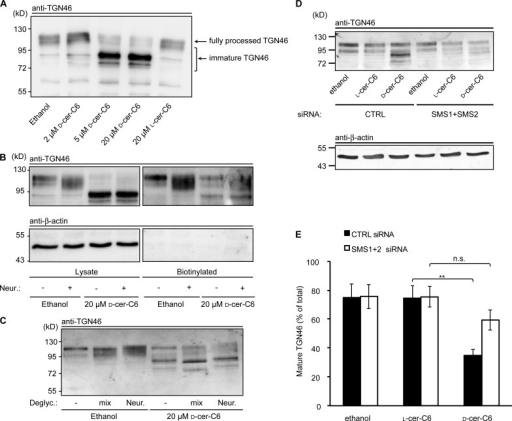d-cer-C6 treatment affects TGN46 glycosylation. (A) HeLa cells were treated with ethanol, the indicated concentrations of d-cer-C6, or 20 µM l-cer-C6 for 4 h, after which the cells were lysed, and the lysates were analyzed by Western blotting using an anti-TGN46 antibody. A 110-kD band corresponds to the fully processed, fully glycosylated TGN46, whereas smaller bands of ∼95, 80, and 75 kD correspond to immature forms of TGN46. (B) HeLa cells were treated with ethanol or 20 µM d-cer-C6 for 4 h, after which the cells were biotinylated. After isolation of biotinylated proteins, the biotinylated fractions and cell lysates were treated with neuraminidase (Neur.) or buffer alone and analyzed by Western blotting using antibodies against TGN46 and β-actin. (C) HeLa cells were treated with ethanol or with 20 µM d-cer-C6 for 4 h, after which the cells were lysed. Lysates were treated with a deglycosylation (Deglyc.) mix (second and fifth lanes), treated with neuraminidase (third and sixth lanes), or remained untreated (first and fourth lanes) and analyzed by Western blotting using an anti-TGN46 antibody. (D) HeLa cells transfected with control (CTRL) or SMS1 + SMS2 siRNA for 92 h were treated with ethanol, 20 µM l-cer-C6, or 20 µM d-cer-C6 for 4 h, after which cells were lysed, and the lysates were analyzed by Western blotting using anti-TGN46 and anti–β-actin antibodies. (E) Quantitation of the band intensity of mature 110-kD TGN46 (in percentages of total TGN46) for the experiment in D. Bars show the mean values ± SEM of four independent experiments (n = 4). Statistical significance is indicated as **, P < 0.01 or n.s., P > 0.05.