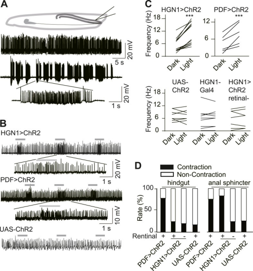 Excitatory output from vnc neurons to gut musclesa s open i excitatory output from vnc neurons to gut musclesa spontaneous ejp activity of ccuart Gallery