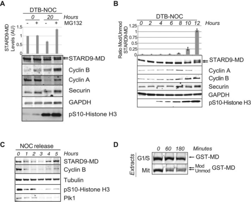 The STARD9 motor domain is modified and degraded in mitosis. (A) The LAP-tagged STARD9-MD cell line was double thymidine blocked (DTB; 0 h) and released into the cell cycle in the presence of nocodazole (NOC; 20 h) ± MG132. Extracts were immunoblotted with indicated antibodies, and the levels of STARD9-MD were quantified (arbitrary units [AU]) for each condition. Data represent the average ± SD of three independent experiments. (B) Same as in A, except that no MG132 was added, and protein extracts were prepared at the indicated time points and analyzed by immunoblotting with the indicated antibodies. The ratio of modified/unmodified STARD9-MD was quantified for each condition as indicated. Data represent the average ± SD of three independent experiments. (C) The LAP-tagged STARD9-MD cell line was synchronized in early mitosis with nocodazole for 16 h and released into fresh medium. Samples were collected each hour and analyzed by immunoblotting with the indicated antibodies. Plk1 was used as a mitotic marker (degraded in early G1 phase). Note that STARD9-MD protein levels decreased during mitosis when Plk1 was present. (D) Recombinant STARD9-MD (GST-MD) was incubated with G1/S or mitotic extracts, and the appearance of the modified form of GST-MD was monitored by immunoblot analysis.