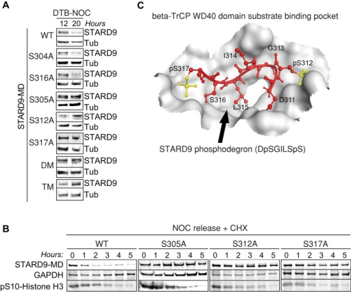 Phosphorylation at serines 305, 312, and 317 regulates STARD9-MD protein stability. (A) HeLa stable cell lines expressing STARD9-MD wild type, serine-to-alanine single mutants (S304A, S305A, S312A, S316A, and S317A), double mutants (S312/316A), and triple mutants (S312/316/317) were arrested in G1/S and released into the cell cycle in the presence of nocodazole for 12 or 20 h. Extracts from these time points were immunoblotted to monitor the levels of STARD9-MD and tubulin. (B) HeLa stable cell lines expressing STARD9-MD wild type and serine-to-alanine single mutants (S305A, S312A, and S317A) were arrested in early mitosis with nocodazole for 16 h and treated with cycloheximide during the release. Samples were collected each hour and analyzed by immunoblotting to monitor the levels of STARD9-MD. (C) Molecular modeling of the interaction between β-TrCP and the STARD9-MD extended phosphodegron (DpSGILSpS) peptide.