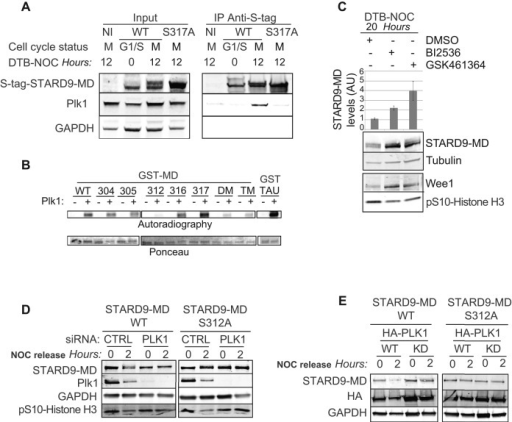 Plk1 binds to STARD9-MD, phosphorylates it at serine 312, and regulates its degradation. (A) Immunoprecipitation of LAP-tagged STARD9-MD wild type and S317A mutant from G1/S or mitotic extracts. Eluates were immunoblotted for the indicated proteins. Note that Plk1 only coimmunoprecipitates with mitotic phosphorylated wild-type STARD9-MD and not the nonphosphorylated S317A STARD9-MD mutant. NI indicates the noninduced control. (B) Plk1 phosphorylates STARD9-MD at serine 312. In vitro phosphorylation assays were carried out with recombinant wild type or serine-to-alanine mutant STARD9-MD. The transfer of the [γ-32P]phosphate group onto STARD9-MD was monitored by Western blot and radiometric analyses. (C) Plk1 regulates STARD9-MD protein levels in vivo. The LAP-tagged STARD9-MD cell line was synchronized in G1/S and released into nocodazole-containing media in the presence or absence of BI2536 or GSK461364 Plk1 inhibitors, mitotic cells were harvested 20 h postrelease, protein extracts were analyzed by immunoblotting for the indicated proteins, and the levels of STARD9-MD were quantified for each condition. Data represent the average ± SD of three independent experiments. (D) siRNA knockdown of endogenous Plk1 protein in LAP-tagged STARD9-MD wild-type and S312A mutant cell lines. Cells were synchronized in early mitosis with nocodazole for 16 h and released, and samples were collected at the indicated time points and immunoblotted with the indicated antibodies. CTRL indicates control siRNA. (E) The LAP-tagged STARD9-MD wild-type and S312A cell lines were transfected with HA-Plk1 or HA-Plk1-KD overexpression vectors, cells were arrested in mitosis with nocodazole for 16 h and released into fresh medium, and extracts were prepared at the indicated time points and immunoblotted with the indicated antibodies.