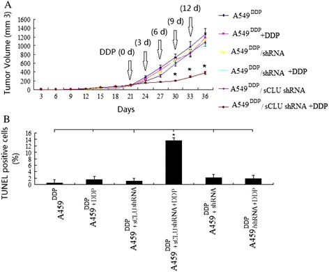 Clusterin silencing increased chemotherapeutic sensitivity and promoted apoptosis of DDP resistant A549 cells. (A) A549DDP cells transfected with sCLU shRNA or scramble shRNA were injected subcutaneously into the right flank of nude mice. When tumors reached −100 mm3 in volume, the mice received daily 200 μl i.p. injections of DDP (4 mg/kg body/wt.,i.p). DDP was administered i.v. once every 3 days. The treatments lasted for 15 days during which the volume of tumors was recorded,*P < 0.05 (Student's t test). (B) Tumor sections were stained with TUNEL agent to visualize apoptotic cells.*P < 0.05 (Student's t test).