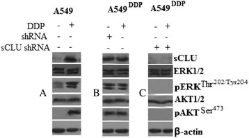 Expression of clusterin, pERK1/2, and pAKT in A549DDPtumor tissue from the mice (A, B, C). A549, A549DDP, A549DDP/sCLU shRNA, and A549DDP/shRNA cells were injected subcutaneously into the right flank of nude mice. Three weeks later, DDP (4 mg/kg body/wt.,i.p) was administered i.v. once every 3 days. The treatments lasted for 15 days. Protein expression in the xenograft tumor was visualized with the indicated antibodies.