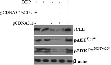 Expression of clusterin, pERK1/2 and pAKT in A549 tumor tissue from the mice. A549, A549/sCLU, and A549/pCDNA3.1 cells were injected subcutaneously into the right flank of nude mice. Three weeks later, DDP (4 mg/kg body/wt.,i.p) was administered i.v. once every 3 days. The treatments lasted for 15 days. Protein expression in the xenograft tumor was visualized with the indicated antibodies.