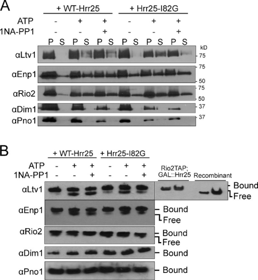 Hrr25-dependent release of Ltv1 from pre-40S ribosomes. (A) Co-sedimentation assays. Western blot analysis of AFs in the bound (pellet [P]) and released (supernatant [S]) fractions of the purified pre-40S ribosome from cells containing wild-type (WT-Hrr25) or 1NA-PP1-sensitive mutant (Hrr25-I82G) of Hrr25. (B) Native gel assay for Ltv1 release. Western blot analyses of native gels are shown. The position of ribosome-bound and free Ltv1 is identified by Rio2TAP-purified ribosomes and recombinant Ltv1.