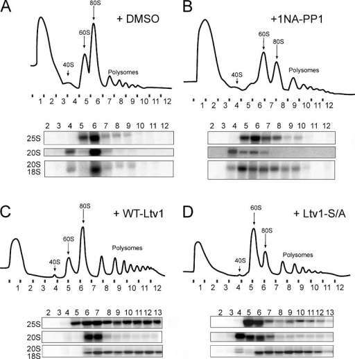 Inhibition of Hrr25 or phosphosite mutations of Ltv1 block subunit joining. (A and B) 10–50% sucrose gradients of cytoplasmic extracts from GAL::Hrr25;GAL::Fap7 cells transformed with a plasmid carrying Hrr25-I82G, grown in glucose for 16 h, and treated with DMSO vehicle (A) or 1NA-PP1 (B). The quality of the nucleo-cytoplasmic separation is shown in Fig. S5 C. (C and D) Sucrose gradients of cytoplasmic extracts from ΔLtv1;GAL::Fap7 cells transformed with a plasmid carrying WT-Ltv1 (C) or Ltv1-S/A (D), grown in glucose for 16 h. Absorbance profiles at 254 nm and Northern blots for rRNAs and precursors are shown.
