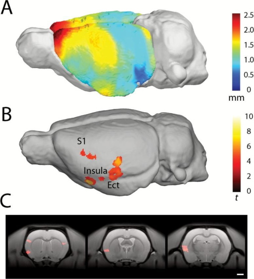 Average voxel-based cortical thickness in rats treated with PCP. Scale bar in mm (A). Areas of significantly reduced cortical thickness in PCP-treated animals compared with saline-treated animals; the scale bar shows student's t-score based on 14 degrees of freedom. Results surviving a cluster-extent correction for family-wise error p < 0.05 are shown (B). Coronal sections indicating reduced cortical thickness in the insular cortex, left somatosensory cortex (S1; C; panel 1), granular and dysgranular insular cortex (panel 2), granular, dysgranular insular cortex, and ectorhinal cortex (panel 3). Regions identified using Paxinos and Watson (1997).