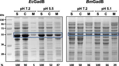 pH dependent cellular partition in EcGadB (left panel) and BmGadB (right panel). 12% SDS–PAGE of 30 μg-samples of cell supernatants (S), obtained after cell lysis, cytoplasmic (C) and membrane (M) fractions obtained as described in Section 2.4 at neutral (pH 7.2) and mildly acidic pH (pH 5.5 EcGadB or pH 5.1 BmGadB). The region of the gel encompassing the bands corresponding to EcGadB and BmGadB is shown with a blue box. Molecular weight (kDa) standards are shown on the right of the left panel. The decarboxylase activity is provided as percentage with respect to the corresponding starting activity in S (100%). The reported activity values represent the mean of 2–3 independent experiments, with a standard deviation not exceeding 10% of the stated value.