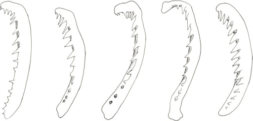 Gill arches of Simochromis and Pseudosimochromis species.From left to right: P. curvifrons, S. babaulti, S. marginatus, S. margaretae and S. diagramma. Specimens illustrated are listed in Appendix.