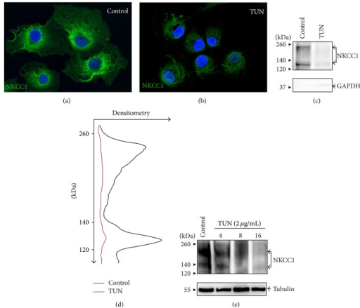 The first step of N-glycan biosynthesis is required for NKCC1 protein expression. ((a)-(b)) Shown are representative immunofluorescence microscopy images of COS7 cells grown under control conditions (a) or treated for 16 h with 2 μg/mL tunicamycin (TUN, (b)). NKCC1 immunolocalization was analyzed with T4 and FITC-labeled secondary antibodies (green). (c) Representative immunoblot with ckNKCC1 demonstrating expression of NKCC1 in the biotinylated plasma membrane fraction purified from COS7 cells control or treated with TUN. Protein expression of cytosolic GAPDH was used to assess the purity of biotinylated plasma membrane fractions. (d) Densitometry scanning of the immunoblot in (c) representing the extent to which TUN (red trace) decreases plasma membrane located NKCC1 (black trace). (e) Representative immunoblot showing the expression pattern of total NKCC1 in COS7 cells in response to TUN 2 μg/mL during the indicated periods of time. As loading control, immunoblots were probed against tubulin.
