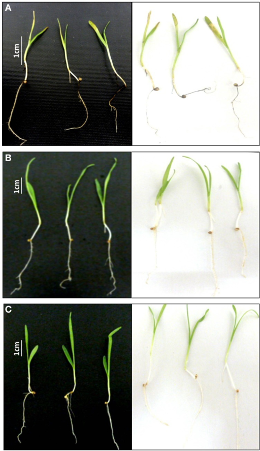 Testing the pathogenicity of the putative endophyte WF4 on finger millet. (A) Representative pictures showing the effect of the known pathogen Alternaria alternata on finger millet seedlings (negative control). (B) Representative pictures showing the effect of buffer on finger millet seedlings (positive control). (C) Representative pictures showing the effect of the fungus WF4 on finger millet seedlings.