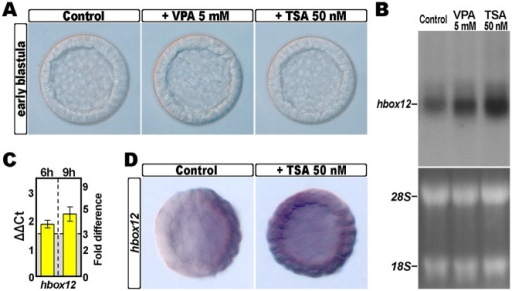 Effect of HDAC inhibition on the expression of the hbox12 gene.(A) P. lividus embryos cultured in the absence or in the presence of either TSA or VPA at the indicated dosages, and observed at the early blastula stage. (B) Northern blot analysis of total RNA isolated from embryos at the early blastula stage treated or not treated with TSA or VPA, and probed with an antisense 32P labelled RNA against the hbox12 transcript. The lower panel shows the loading control ribosomal RNAs in the ethidium bromide stained agarose gel. (C) qPCR measurements of hbox12 transcript abundance in blastulae treated with 50 nM TSA. Data are shown as normalized ΔCt (ΔΔCt, left ordinate), and as the corresponding fold difference in transcript abundance (right ordinate), with respect to control unperturbed embryos at the same stages of development. The gray region represents ΔΔCt values corresponding to less than 3-fold difference. Error bars are standard errors for the qPCR replicates. Oligonucleotide primer pairs used for qPCR reactions and amplicon lengths are indicated in the S1 Table. (D) Spatial distribution of the hbox12 transcripts in control and TSA-treated embryos at the early blastula stage, revealed by chromogenic WMISH.