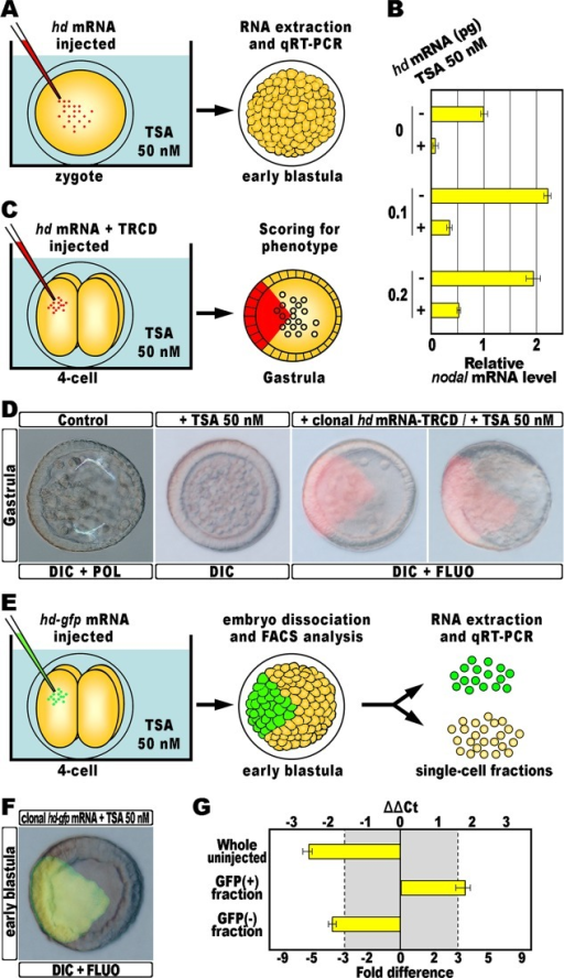 Rescue of nodal transcription by HD expression into TSA-treated embryos.(A) 0.1–0.2 pg of the hd mRNA, or a control out-of-frame strim1 transcript [53], were injected into zygotes exposed to TSA and total RNA isolated from the resulting embryos at the early blastula stage. (B) qPCR measurements of relative nodal transcript abundance in embryos exposed to TSA and injected with increasing amounts of the hd mRNA, compared to the nodal mRNA level of control unperturbed embryos. Data are normalized and indicated as in Fig 1C. (C) At the 4-cell stage, one blastomere of TSA-treated embryos was injected with the hd mRNA together with the TRCD red fluorescent tracer, and the phenotype of the resulting embryos was examined at the gastrula stage. (D) Representative examples of control gastrulae, TSA-treated larvae, and rescued embryos at the same stage injected with the hd mRNA, respectively ordered from left to right. Note that in both the rescued embryos, the progeny of the blastomere that received hd was embedded into the ventral side. (E) At the 4-cell stage, one blastomere of TSA-treated embryos was injected with the hd-gfp mRNA, and the resulting embryos at the early blastula stage were disaggregated into individual cells that were eventually segregated into two populations, based on GFP fluorescence, by way of FACS. (F) Representative example of embryos expressing HD-GFP clonally, observed at the early blastula stage, just before dissociation. (G) Changes in gene expression level of nodal assessed by qPCR in whole embryos exposed to TSA, and in subpopulations of cells sorted from rescued TSA-treated embryos clonally expressing HD-GFP. Data are normalized and indicated as in Fig 1C.