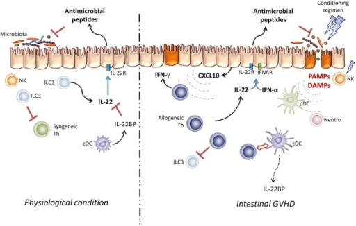 "Pathogenic effect of IL-22 in GVHD. Under physiological conditions, resident ILC3 cells take part in the intestinal microbiota and mucosal infiltrating lymphocyte homeostasis via IL-22 secretion. In this setting, IL-22 activity is controlled by IL-22BP produced by immature DC. In the allo-SCT setting, the conditioning regimen leads to epithelial barrier damage and host NK cell elimination. These lesions increase DAMP and PAMP secretion and induce pDC, neutrophil, and antigen-presenting cell infiltration, processes which activate donor T cells through the ""cytokine storm."" Thus, IL-22 and type-I IFN take part in CXCL10 expression and induce Th1 inflammation."