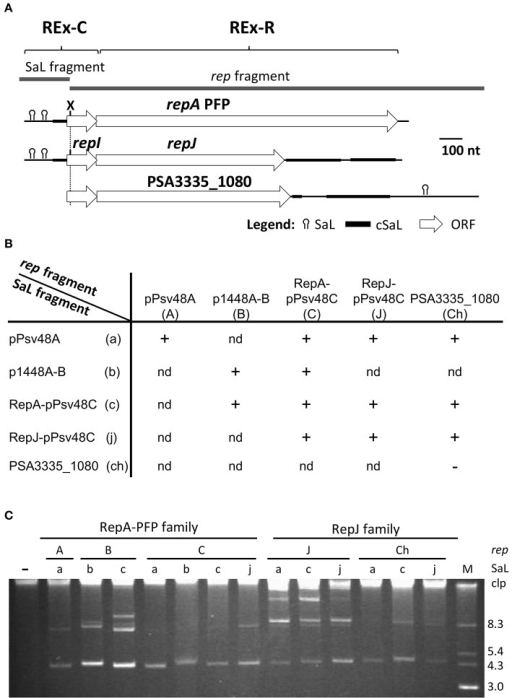 The REx-C modules are functionally exchangeable within and among REx-R families. (A) Schema of the DNA fragments exchanged for the construction of chimeras, which were cloned in vector pKMAG immediately after the transcriptional terminator. X, XmnI restriction site. (B) Autonomous replication in P. syringae pv. syringae B728a of wild type and chimeric DNA regions: +, autonomous replication; -, no replication; nd, not determined. (C) Undigested plasmid profile gels of B728a harboring the different wild type and chimeric clones, with numbers indicating the combination of SaL and rep fragments as in (B); discrete plasmid bands evidence autonomous replication, with multiple bands being different topological forms and/or multimers. Lane (-) is the wild type strain B728a, plasmidless; lane M, size markers, in kb; Clp, chromosome and high-molecular-weight plasmid multimers.