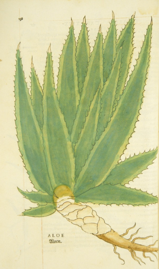 <p>Hand-colored woodcut of the aloe plant, showing the leaves and roots.</p>