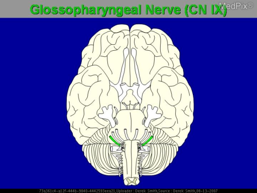 Representation of the glossopharyngeal nerve.