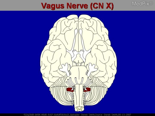 Drawing of the vagus nerve. This is the longest cranial nerve, extending from the brainstem, through the mediastinum, and ending in the stomach.