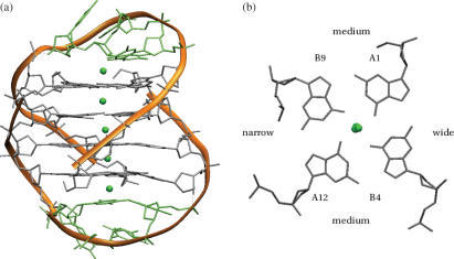 The crystal structure (28) of the bimolecular quadruplex formed by the O.nova telomeric sequence d(G4T4G4) (PDB entry 1JPQ). (a) Overall topology is indicated by the ribbon representation in orange. The details of the molecular structure are also shown. Potassium ions are shown as green spheres. (b) A projection down the central channel, indicating the relative widths of the four grooves