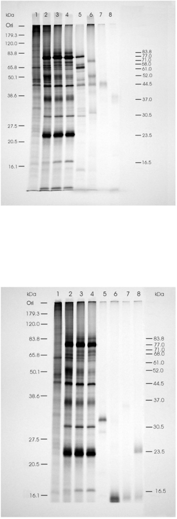 Autoradiograph of SDS-PAGE of expressed proteins labeled with [35S]methionine in a coupled in vitro TNT System with the different constructs in pCR®II-TOPO® plasmid and in TO cells infected with ISAV as in Fig. 1, immunoprecipitated with rabbit antiserum to purified ISAV. The prestained protein standards (Invitrogen Life Sciences) are drawn in on the left while corresponding molecular masses of immunoprecipitated ISAV proteins are indicated on the right. (A) Lanes 1 to 8 contain radiolabeled proteins synthesized in uninfected TO cells, ISAV-infected TO cells at 24, 48 and 96 hr post-infection, and in TNT System with constructs of ORFs in ISAV segments 3–6, respectively. (B) Lanes 1 to 8 contain radiolabeled proteins synthesized in uninfected TO cells, ISAV-infected TO cells at 24, 48 and 96 hr post-infection, and in TNT System with constructs of ISAV segment 7 ORFs 1 and 2 and segment 8 ORFs 1 and 2, respectively.