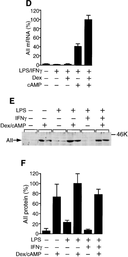 Effect of induction of  arginase II on apoptosis of  RAW cells. (A) Time course  of treatment of RAW cells is  shown. RAW cells were cultured in the medium with or  without 1 μM Dex and/or 1 mM  dibutyryl cAMP (cAMP) for  24 h, and then treated with various combinations of LPS (150  μg/ml) and IFN-γ (100 U/ml)  for 6 h for RNA blot analysis  (B–D) or 12 h for immunoblot  analysis and apoptosis assays  (E–H). (B) RAW cells were  treated with reagents as indicated and total RNAs (2 μg)  were subjected to blot analysis  for iNOS and arginase II (AII)  mRNAs. The positions of 18S  and 28S rRNAs are shown on  the right. The bottom panels in  B show ethidium bromide staining of 18S and 28S rRNAs. (C)  The results in B were quantitated and are shown by means ±  ranges (n = 2). Maximal values  are set at 100%. (D) Experiments were performed as in B  and the results for arginase II  (AII) mRNA were quantitated  and are shown by means ± SE  (n = 3). Maximal value is set at  100%. (E) RAW cells were  treated with reagents as indicated on the top and the cell extracts (30 μg) were subjected to  immunoblot analysis for the arginase II (AII) protein. The molecular mass marker on the right  was ovalbumin (46 kD). (F) The results in E (n = 2) and a parallel experiment (n = 2) were quantitated and are shown by means ± SE  (n = 4). Maximal value is set at 100%. (G) RAW cells were cultured in the medium with or without 1 μM Dex and/or 1 mM dibutyryl  cAMP for 24 h, and then treated with LPS (150 μg/ml) and IFN-γ (100 U/ml) for 12 h. After fixation, the cells were stained with Hoechst  dye 33258. Phase-contrast images (a, c, e, and g) and fluorescence images (b, d, f, and h) of the same fields are shown. Original magnifications: ×400. Bars, 10 μm. The percentage of total cells which were determined to be apoptotic is shown on the bottom of each panel.  (H) RAW cells were treated with reagents as indicated on the top. DNAs were isolated, resolved on an agarose gel, stained with SYBR  Green I, and visualized for DNA fragmentation by UV transillumination.