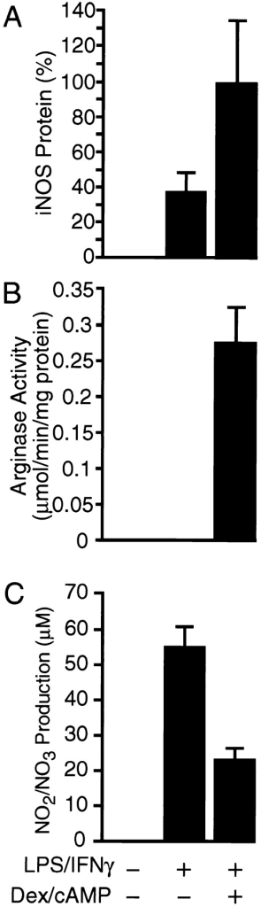 Effect of various reagents  on iNOS protein (A), arginase activity (B), and NO2/NO3 production  (C) in RAW cells. The cells were  treated with or without 1 μM Dex  and 1 mM dibutyryl cAMP for 24 h  and then with LPS (150 μg/ml) and  IFN-γ (100 U/ml) as indicated at  the bottom for 12 h (A and B) or 18 h  (C). (A) Cell extracts (30 μg protein) were subjected to immunoblot  analysis for iNOS protein and the  immunoblots were quantitated and  are shown by means ± SE (n = 3).  Maximal value is set at 100%. (B)  Arginase activity of the cell extracts  was measured and the results are  shown by means ± SE (n = 3). (C)  NO2 plus NO3 in the medium was  measured and the results are shown  by means ± SE (n = 3).