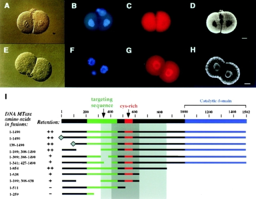 Dnmt1 is actively retained in the cytoplasm of early mouse embryos via a sequence in the NH2-terminal, regulatory domain of the enzyme. A–D show the localization of a β-galactosidase fusion protein containing amino acids 1–638 of the oocyte-specific Dnmt1 isoform which is retained in the cytoplasm of two-cell mouse embryos. A shows the DIC image; B shows the DNA stained with Hoechst 33258; C shows the rhodamine detection of the β-galactosidase fusion protein; and D shows the corresponding confocal section clearly showing its cytoplasmic localization. E–H illustrate a cytoplasmic retention deficient β-galactosidase fusion protein containing amino acids 1–259 of the oocyte-specific Dnmt1 isoform, as DIC image (E), DNA staining (F), epifluorescence image of the fusion protein (G), and respective confocal section (H). The dotty cytoplasmic signal visible in the confocal section in H was not reproducible. Fertilized eggs were microinjected with the different fusion constructs schematically shown in I (β-galactosidase was fused at the COOH terminus and it is not shown), processed as described in Fig. 3, and assayed for their ability to be retained in the cytoplasm of two-cell mouse embryos. The previously identified targeting sequence that directs the protein to subnuclear sites of DNA replication (Leonhardt et al. 1992) is indicated in green. The diamond at the NH2 terminus of two fusions signifies the addition of an SV-40 large T antigen NLS. All the constructs listed show a clear nuclear localization in somatic cells (data not shown). The deletion endpoints of the different fusion proteins shown in I define a broad region between amino acids 308 and 854 of the oocyte-specific Dnmt1 isoform (light grey shading) which is necessary and sufficient for cytoplasmic retention (scored as ++) in preimplantation mouse embryos. Within this larger region the most crucial sequence (dark grey shading) lies between amino acids 427 and 638, since deletions in this region are clearly not retained in the cytoplasm (scored as −). Absence of amino acids 308–427 or 638–854 flanking this sequence caused a less efficient cytoplasmic retention (scored as +). Bars, 10 μm.