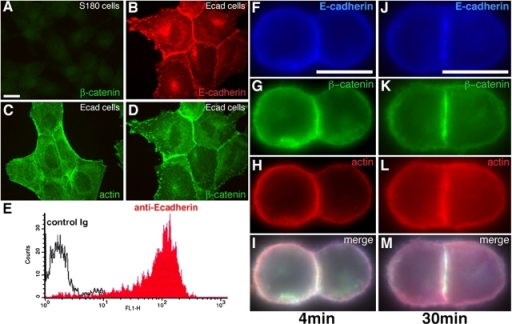 Adhesive properties of Ecad cells. Immunodetection of β-cat (A and D), E-cadherin (B), and actin (C) in S180 cells (A) and Ecad cells (B–D). E, FACS analysis on isolated Ecad cells in suspension, after TC treatment, with an antibody directed against the extracellular domain of E-cadherin. Immunodetection of E-cadherin (F and J), β-cat (G and K), and actin (H and L) in doublets formed in suspension for 4- (F–I) or 30-min (J–M). Merged images are shown in I and M. Bars: (A) 20 μm; (F and J) 10 μm.