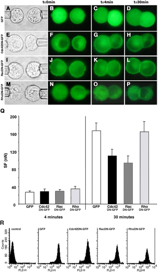 The effect of dominant negative GTPase protein expression on SF. Distribution of GFP-tagged proteins in transfected Ecad cells producing GFP (B–D), and the Cdc42DN (F–H), RacDN (J–L), and RhoDN (N–P) before contact (B, F, J, and N), in 4-min doublets (C, G, K, and O) and in 30-min doublets (D, H, L, and P). Each row represents a series of real-time images of a doublet monitored by light transmission or epifluorescence microscopy before and at 4 and 30 min of contact. Q, SF measured for 4- and 30-min Ecad doublets producing either GFP (white bars), Cdc42DN (black bars), RacDN (dark gray bars), or RhoDN (light gray bars). (R) FACS analysis of transiently transfected Ecad cells, positive for GFP, Cdc42DN, RacDN, or RhoDN, and immunostained with an antibody directed against the extracellular domain of E-cadherin (FL2 channel).