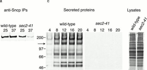 SNARE complex assembly and secretion in sec2 mutant yeast. (a and b) SNARE complex assembly. Wild-type (NY13) and sec2-41 (NY130) yeast were grown to early log phase at 25°C. An aliquot of each strain was shifted to 37°C for 10 min. Ssop coimmunoprecipitating with Sncp from a detergent-solubilized lysate was observed by Western blotting (a) and quantified by densitometry (b). The steady-state amount of SNARE complexes in wild-type cells at 25°C was defined as 100%. (c and d) Secretion rate. Cells were grown at 25°C, pelleted, and resuspended in [35S]methionine labeling medium prewarmed to 37°C. At the indicated times (in minutes), cells were pelleted from an aliquot and media proteins were collected by TCA precipitation. The media proteins and 5% of a total cell lysate from the 20-min time point were run on a 5% polyacrylamide gel and detected by autoradiography (c). A 16-h exposure for the secreted proteins and a 30-min exposure for the total cell lysates are presented. Secretion of the 150-kD protein (marked with an arrow in c) was quantified using a PhosphorImager (d).
