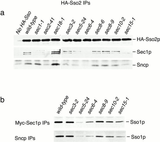 Binding of Sec1p to SNARE complexes in sec mutant strains. (a) Coimmunoprecipitation of Sec1p and Sncp with HA-Sso2p. Wild-type and sec mutant strains expressing HA-Sso2p and an untagged wild-type control were grown at 25°C and shifted to 37°C for 10 min. Sec1p and Sncp coprecipitating with HA-Sso2p in anti-HA immunoprecipitates were observed by Western blotting. Note that the strains in this experiment were shifted to 37°C rather than to 38°C as in Fig. 2. This lower temperature is partially permissive for SNARE complex assembly in the sec8-6 mutant strain. (b) Coimmunoprecipitation of Ssop with myc-Sec1p and Sncp. Wild-type and sec mutant strains expressing myc-Sec1p and an untagged wild-type control were grown at 25°C and shifted to 37°C for 10 min. Ssop coprecipitating with myc-Sec1p in anti-myc immunoprecipitates and coimmunoprecipitating with Sncp in anti-Sncp precipitates was observed by Western blotting.