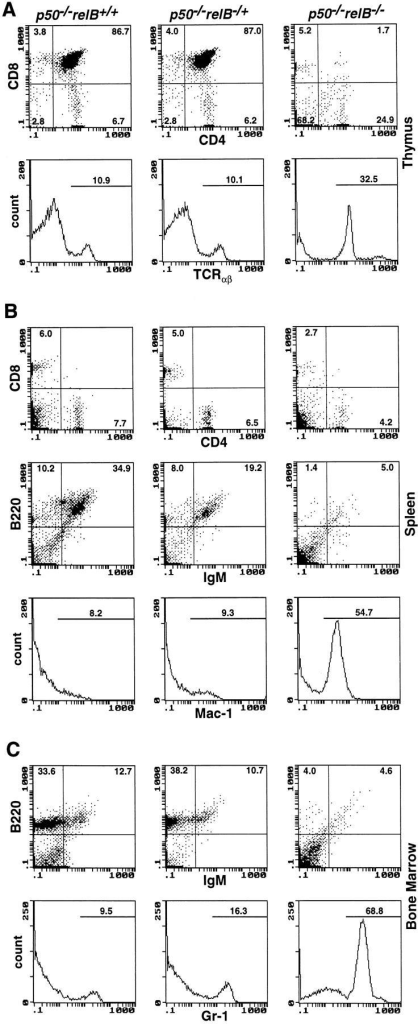 Flow cytometric analysis of 3-wk-old p50−/−, p50−/−relB−/+,  and p50−/−relB−/− mice. Thymus (A), spleen (B), and bone marrow (C )  single cell suspensions were analyzed for surface expression of CD4, CD8,  and TCR-α/β (T cells), B220 and IgM (B cells), Mac-1 (macrophages  and granulocytes), and Gr-1 (granulocytes). Genotypes are depicted above  representative plots. Numbers indicate subpopulation percentages.