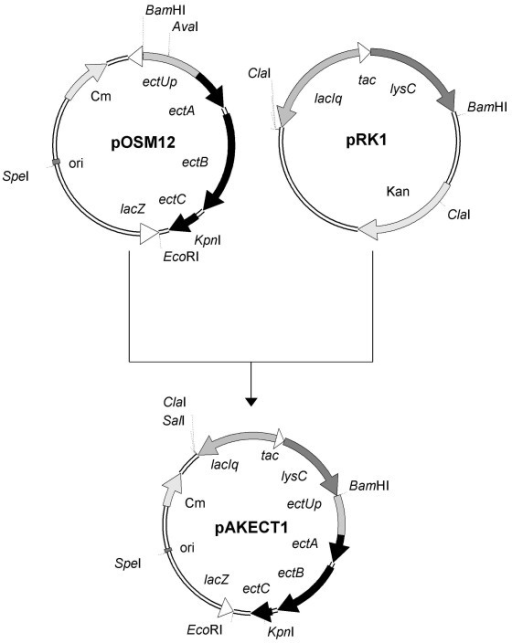 Construction of the plasmids pAKECT1. Plasmid pAKECT1 (10.1 kb) was constructed from pOSM12 and pRK1. Only donor plasmids, final construct and the relevant restriction sites are shown. Due to lack of suitable restriction sites, a complex construction scheme had to be applied (details in text). ectUp: region upstream of ectA with putative osmoregulated promoter sequences. lysC: deregulated aspartate kinase from Corynebacterium glutamicum MH20-22B.