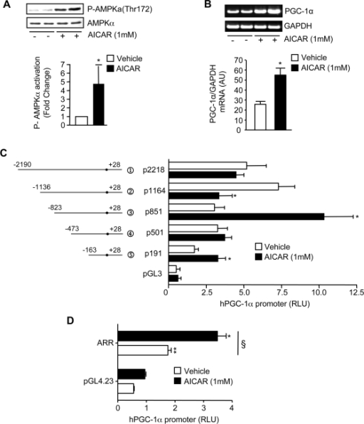 AMPK activation induces PGC-1α mRNA expression and transcriptionally activates the PGC-1α promoter.C2C12 cells were treated with either AICAR (1 mM) or Vehicle for 24 hrs. A. Representative Western Blot probed with a Phospho-AMPKα (Thr172), stripped and then re-probed with total AMPKα for loading control (upper panel). Summary of repeated experiments of the effect of AICAR on AMPK activation is shown (lower panel; n = 4). B. upper panel, EtBr-stained DNA gel of PGC-1α amplified by PCR from vehicle- and AICAR-treated cells. GAPDH was also amplified by PCR and used to verify equal loading. Lower panel: A summary of repeated experiments of the effects of AICAR on PGC-1α mRNA expression (n = 3). C. AICAR-induced transcriptional regulation of the PGC-1α promoter. Relative luciferase activity of the PGC-1α promoter constructs in vehicle- or AICAR-treated cells is shown (n = 4–6). D. The AICAR-responsive region (ARR) from −473 to −821 was cloned into the pGL4.23 minimal promoter vector and AICAR-induced transcriptional regulation of this region was assessed (n = 3). For all data, values are means±S.E.M, *, p<0.05 versus Vehicle-treated control; §, p<005 versus pGL4.23.