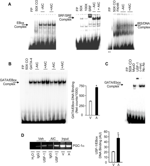AMPK activation increases GATA/EBox DNA binding.A. Representative EMSAs of nuclear extracts from Vehicle− (−AIC) and AICAR− (+AIC) treated cells that were incubated with radiolabeled oligonucleotides corresponding to the EBox, SRE and IRS sequences found within the AICAR-responsive region of the PGC-1α promoter (as shown in Fig. 1). B. A representative EMSA (Left panel) and a summary of multiple experiments (Right panel) showing the effect of AICAR (A) on GATA/EBox-DNA binding. Values are represented as means±S.E.M (n = 8) relative to vehicle-treated (V) cells. C. Representative EMSAs of nuclear extracts that were incubated with radiolabeled oligonucleotides corresponding to GATA/EBox wt. Vehicle-treated cells were incubated with radiolabeled oligonucleotides corresponding to GATA/EBox wt as well as antibodies against MyoD, USF-1 and c-Myc which are known to bind to the EBox sequence. FP: free probe, 25×, 50×, 100× CO: 25-fold, 50-fold, 100-fold molar excess of cold oligo, No Ab: No Antibody, SRF: SRF antibody, FKHR: Forkhead antibody, GATA-4: GATA-4 antibody, c-Myc: c-Myc Antibody, USF-1: USF-1 antibody. **The representative blot of IRS/DNA binding was made from parts of the same gel. D. Representative chromatin immunoprecipitation from cells treated with or without 1 mM AICAR for 24 hours. Protein/DNA complexes were immunoprecipitated with USF-1 antibody, or with non-specific IgG. Primers encompassing the region between −473 and −823 were used to analyze USF-1 binding to the PGC-1α promoter. The representative blot on the left was made from parts of the same gel. At right is a graphical summary of repeated experiments. Values are representative of means±S.E.M (n = 6).