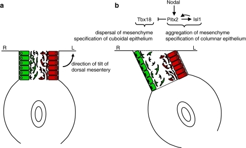 Model for the directional looping of the gut tube. See text for additional explanation. a Initially, the gut tube is suspended symmetrically from the dorsal mesentery within the body cavity. b Subsequently, expression of the transcription factors Pitx2 and Isl1 under the influence of Nodal is restricted to the left side, and of Tbx18 to the right. This results in morphological changes to the epithelium and mesenchyme of the mesentery: columnar epithelium on the left as opposed to cuboidal on the right, and aggregation of mesenchymal cells on the left as opposed to dispersal on the right. The result of these changes is a leftward tilt of the dorsal mesentery, which consequently takes on a trapezoidal rather than a rectangular shape. These studies were performed in the chick embryo, stage HH20-22 (Hamburger and Hamilton [56]), corresponding to mouse embryonic day 10.5–10.75. Redrawn from Davis et al. [7], Figure 7, with permission