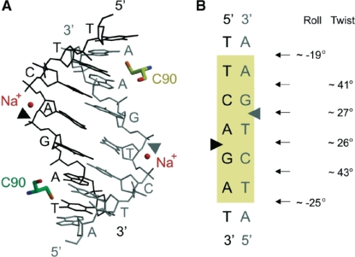 Distorted DNA in the Hpy188I–DNA complex. (A) All-atom representation of the DNA target sequence and the most proximal flanking base pairs in the substrate complex. The intercalating cysteine residues are shown as sticks. The Na+ ions in the active sites are represented by spheres, and the scissile bonds are indicated by triangles. (B) Schematic representation of the DNA. The most significant deviations from standard B-DNA geometry were calculated with the 3DNA program (50).