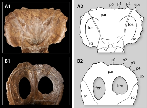 Comparison Of Frills In Torosaurus And Triceratops Sho Open I