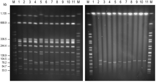 Genomic macrorestriction of Salmonellaenterica serovar Enteritidis isolates: pulsed-field gel electrophoresis profiles for XbaI (left panel) and S1 (right panel). Lane M, XbaI-digested DNA of S. enterica serovar Braenderup H9812, used as size standard; lane 1, NRL-Salm-PT4; lane 2, CNM4839/03; lane 3, H051860415; lane 4, H070360201; lane 5, H070420137; lane 6, H073180204; lane 7, H091340084; lane 8, H091800482; lane 9, H095100307; lane 10, H100240198; lane 11, H101700366. The strain NRL-Salm-PT4 was used as control for the most commonly found XbaI-profile in S. enterica serovar Enteritidis.