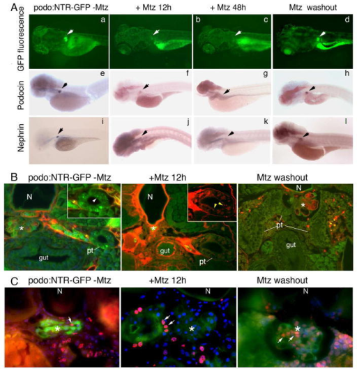 Dynamic changes in gene expression, glomerular function, and cell proliferation during Mtz induced podocyte injury and recovery after Mtz washoutA. GFP fluorescence is reduced and then absent after Mtz treatment for 12 and 48 hours, respectively (b–c), but reappears at 7 days after Mtz wash out (d). Arrows indicate the glomerulus. Whole mount in situ hybridization for podocin (f–h) and nephrin (j–l) transcripts reveals the concomitant loss and re-appearance of expression corresponding with the change in GFP fluorescence in the glomerulus of Mtz-treated Tg(podocin:NTR-GFP) animals. No change in GFP expression (a), or podocin (e) and nephrin (i) expression is seen in the glomerulus of Tg(podocin:NTR-GFP) animals without Mtz treatment. B. Assessment of glomerular filtration function using the rhodamine-conjugated albumin filtration assay. 5–6 hours after retro-orbital injection of rhodamine-albumin, rhodamine-albumin containing vesicles are detected inside pronephric tubule cells of Mtz treated Tg(Podocin:NTR-GFP) fish (middle panel, inset shows a higher magnified view of the tubule with arrowheads indicating red rhodamine-albumin containing vesicles inside the proximal tubular cells). Rhodamine-positive vesicles are not seen in untreated Tg(Podocin:NTR-GFP) control fish, although the uptake of freely filtered 10 kDa FITC-dextran is detected in these animals (left panel, arrowhead in inset indicates green FITC-dextran containing vesicles). No rhodamine-positive vesicles are seen in the pronephric tubule cells in recovered Tg(Podocin:NTR-GFP) animals at 7 days post Mtz washout (right panel). C. Detection of proliferating cells by BrdU incorporation. A small number of BrdU-positive cells are seen in the glomerulus of untreated Tg(podocin:NTR-GFP) laval fish (left panel, arrow indicates the red-colored BrdU signal in the nucleus. Green fluorescence marks NTR-GFP expressing podocytes). In Tg(Podocin:NTR-GFP) fish larvae treated with Mtz for 12 hours, despite the presence of BrdU labeling in neighboring cells of the glomerulus and pronephric tubules (arrows), almost no BrdU incorporation is detected in the glomerulus and the GFP fluorescence of podocytes is significant reduced (middle panel). Greatly increased BrdU staining is detected in the glomerulus of Tg(podocin:NTR-GFP) fish at 7 days post Mtz washout (right panel) (arrows). Overall GFP fluorescence is also increased in the glomerulus of these recovered animals. Some of the BrdU labeled cells are apparently also expressing GFP. N, notochord. Pt, pronephric tubule. * indicates glomerulus*.
